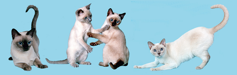Instancebegineditable Name Doctitle Pendragon Tonkinese Welcome Instanceendeditable